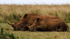 Baby and Mom: Rhinos resting in South Africa